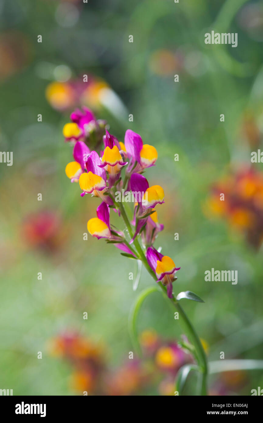 Linaria reticulata flamenco. Spurred Snapdragon flowers Stock Photo