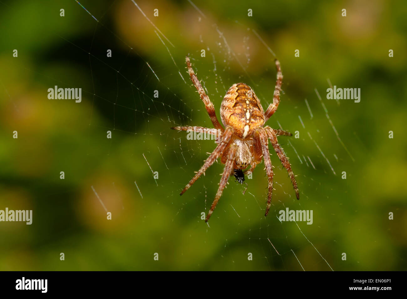 Cross spider - Stock Image