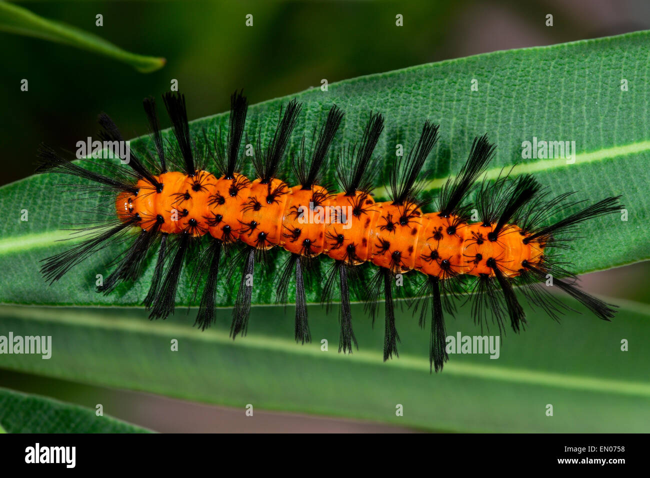 polka-dot wasp moth, big pine key - Stock Image