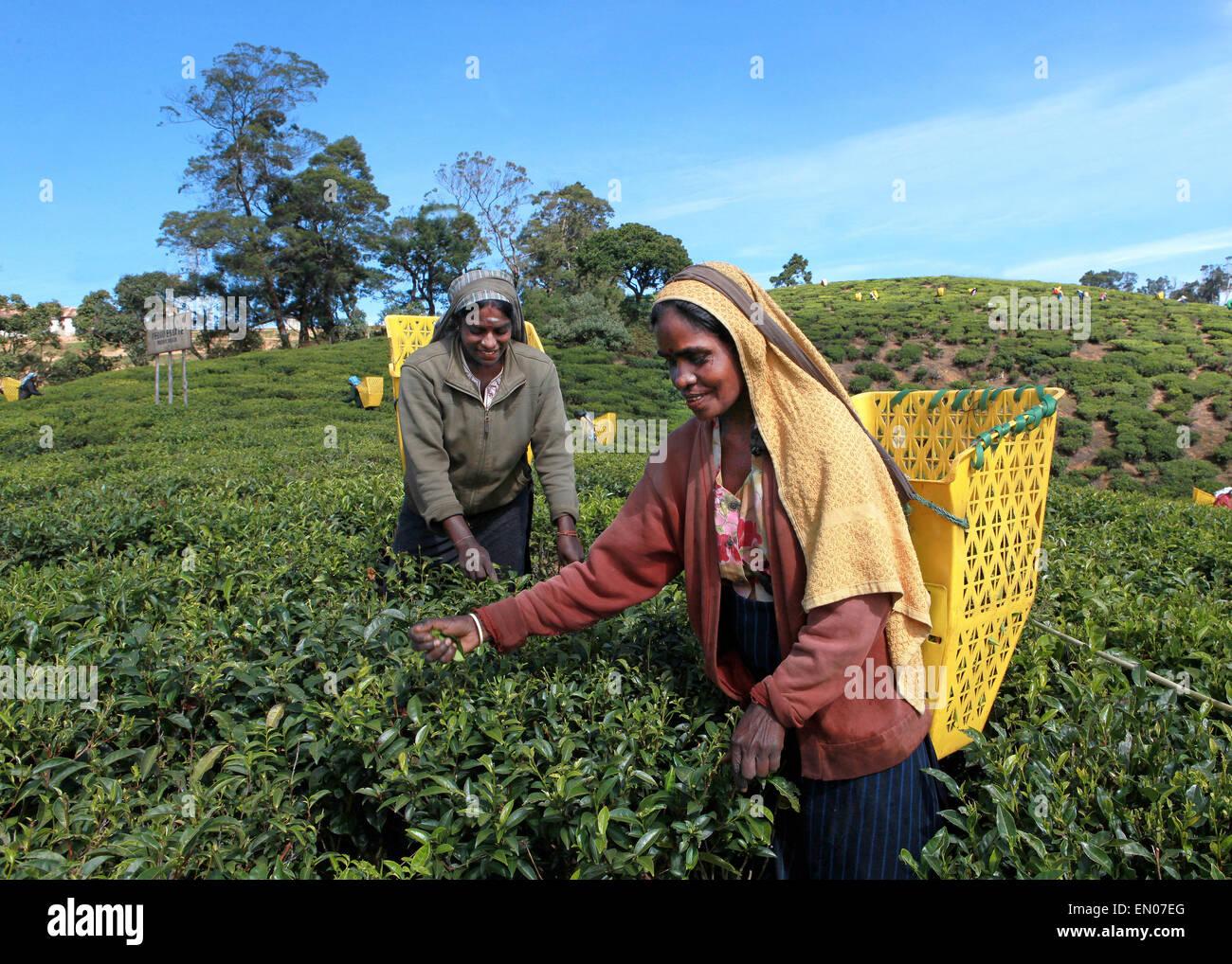 SRI LANKA: tea plantations in Nuwara Eliya: tamilise women picking tea at a tea plantation Stock Photo