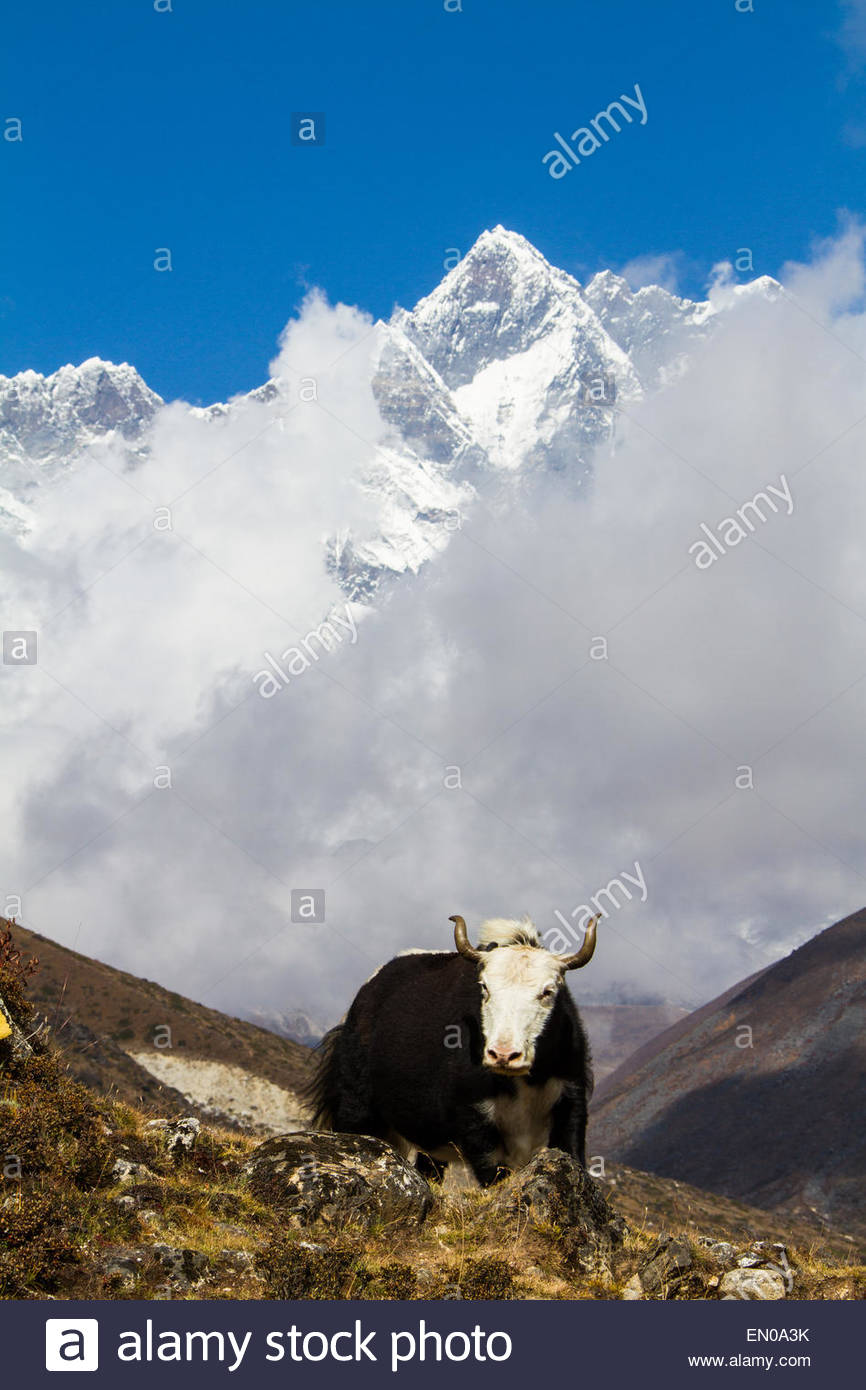 A nak (female yak) crests a hill with beautiful Himalayan peaks shrouded in clouds in the background - Solukhumbu - Stock Image
