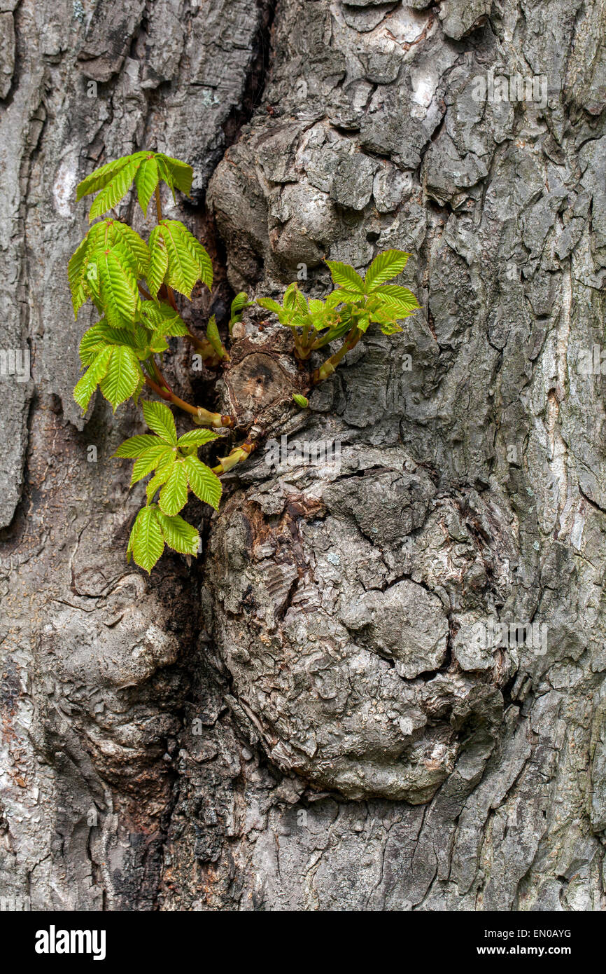 Horse chestnut tree, new leaves on a tree trunk - Aesculus hippocastanum, Czech Republic - Stock Image
