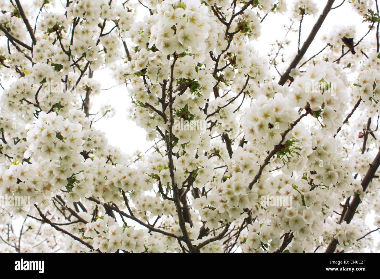 White cherry blossom flowers in spring season Stock Photo