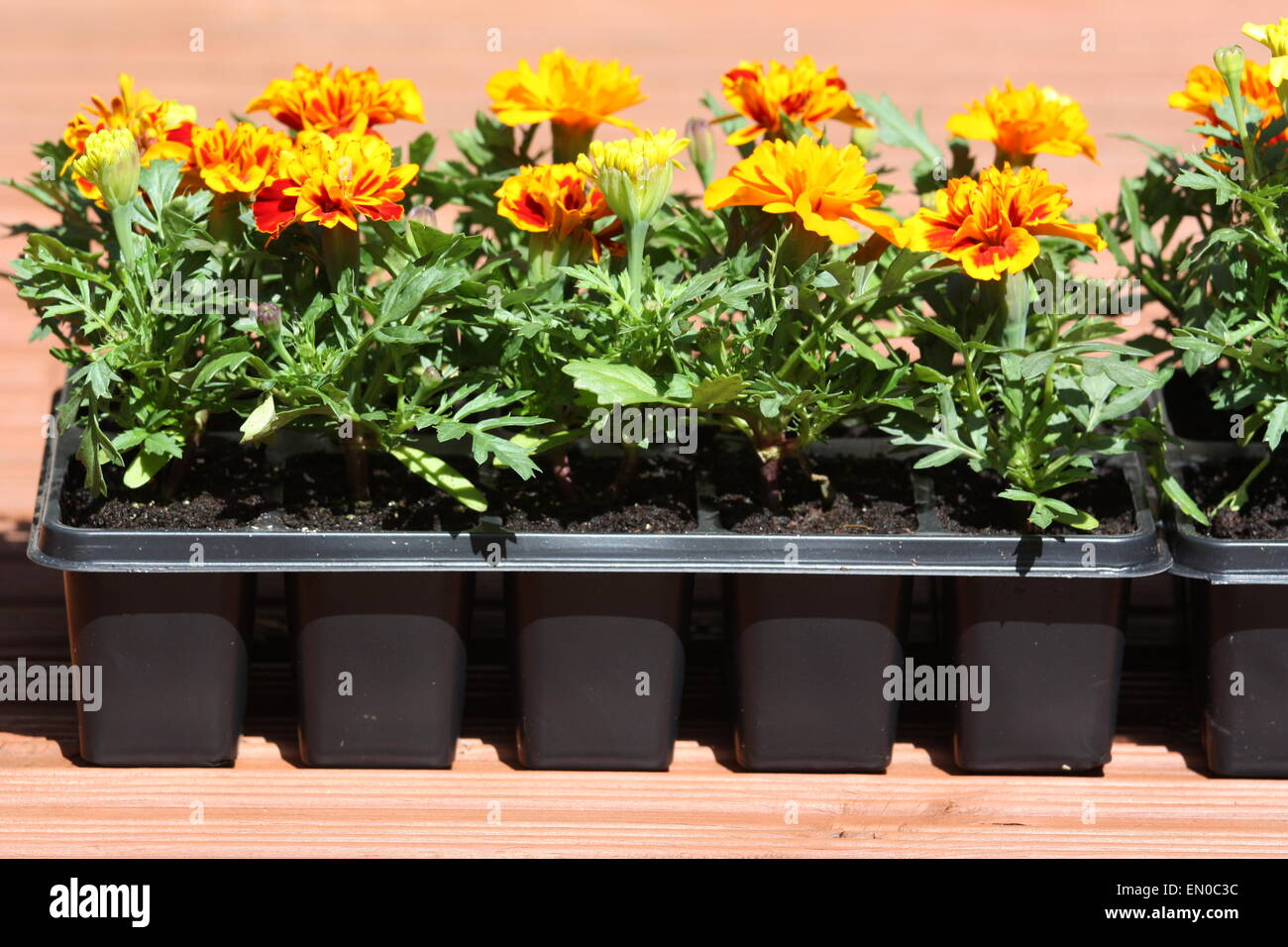 Marigold flowering plants in pots in garden Stock Photo