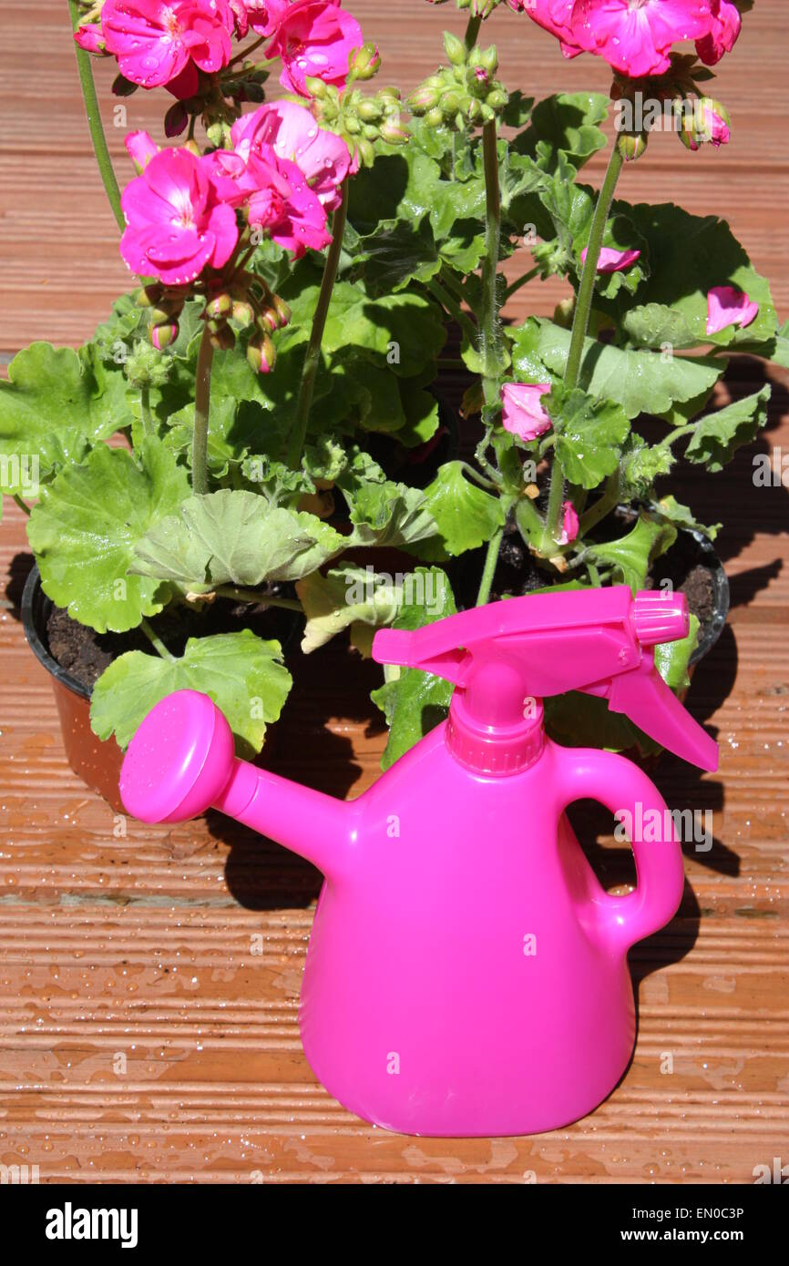Pink geranium flowering plant with watering can in garden Stock Photo