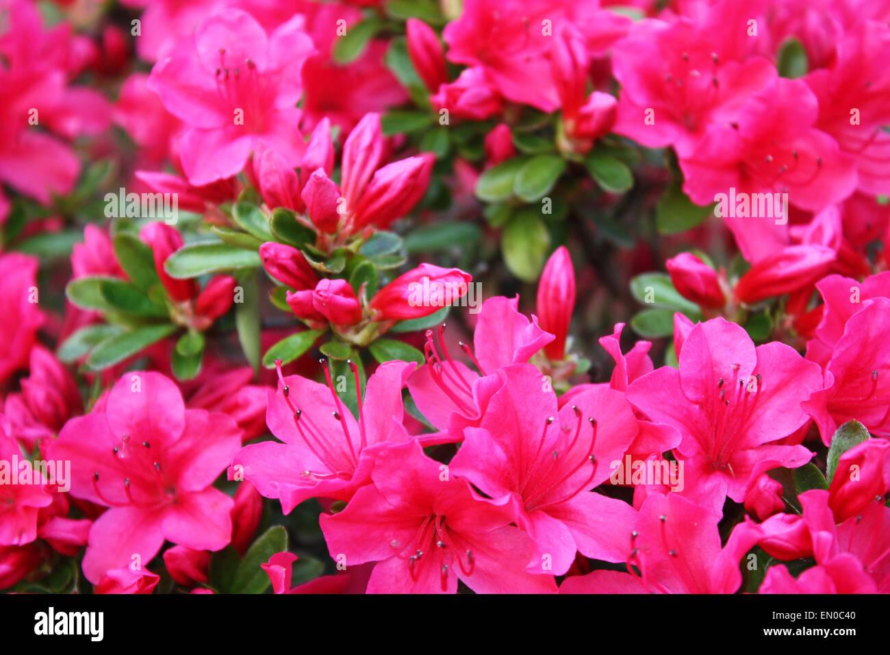 Pink azalea flowers in garden Stock Photo