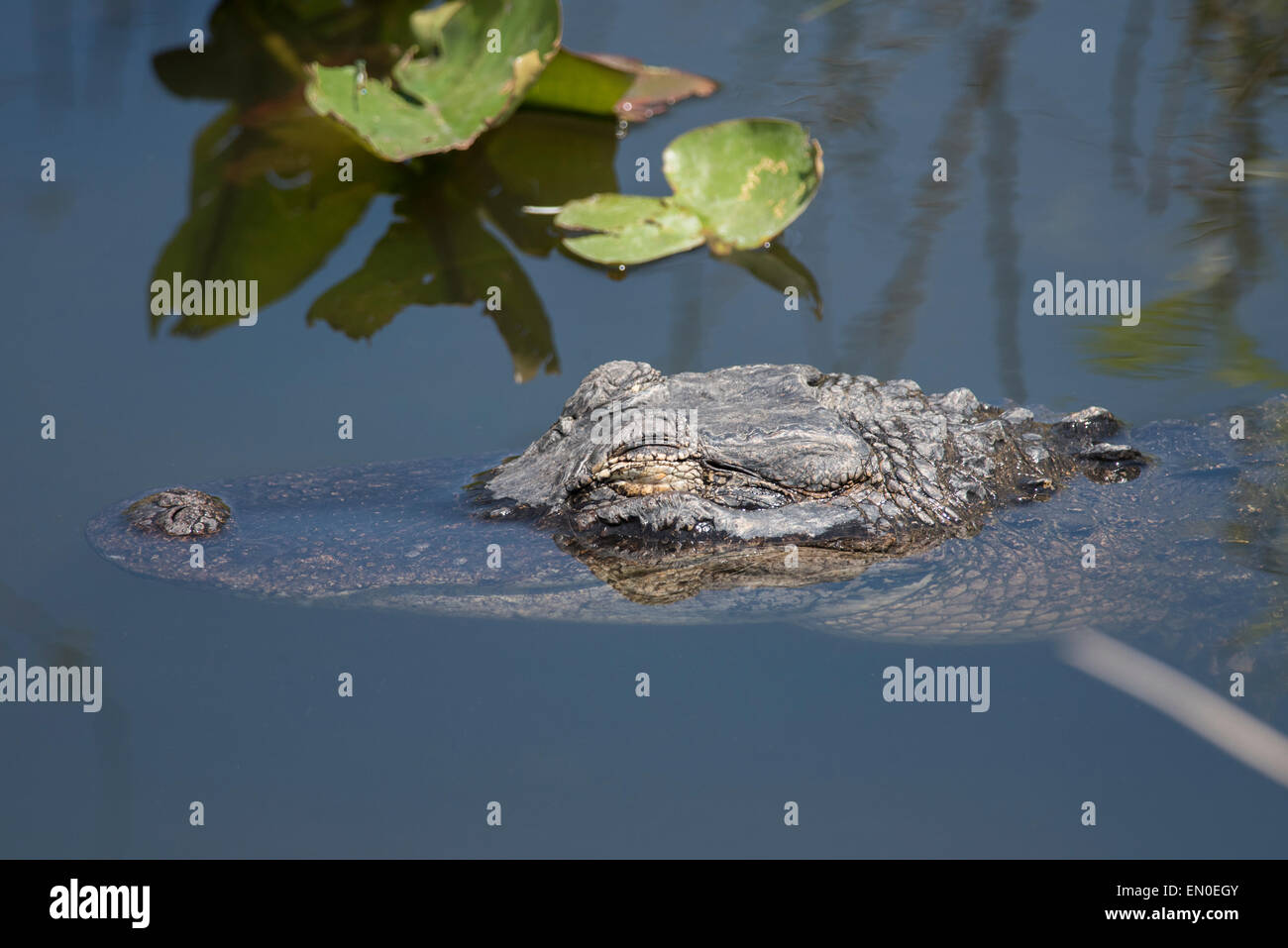 An alligator snoozes in the water - Stock Image