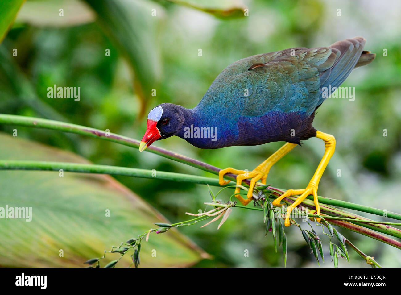 purple gallinule, wacodahatchee wetlands Stock Photo