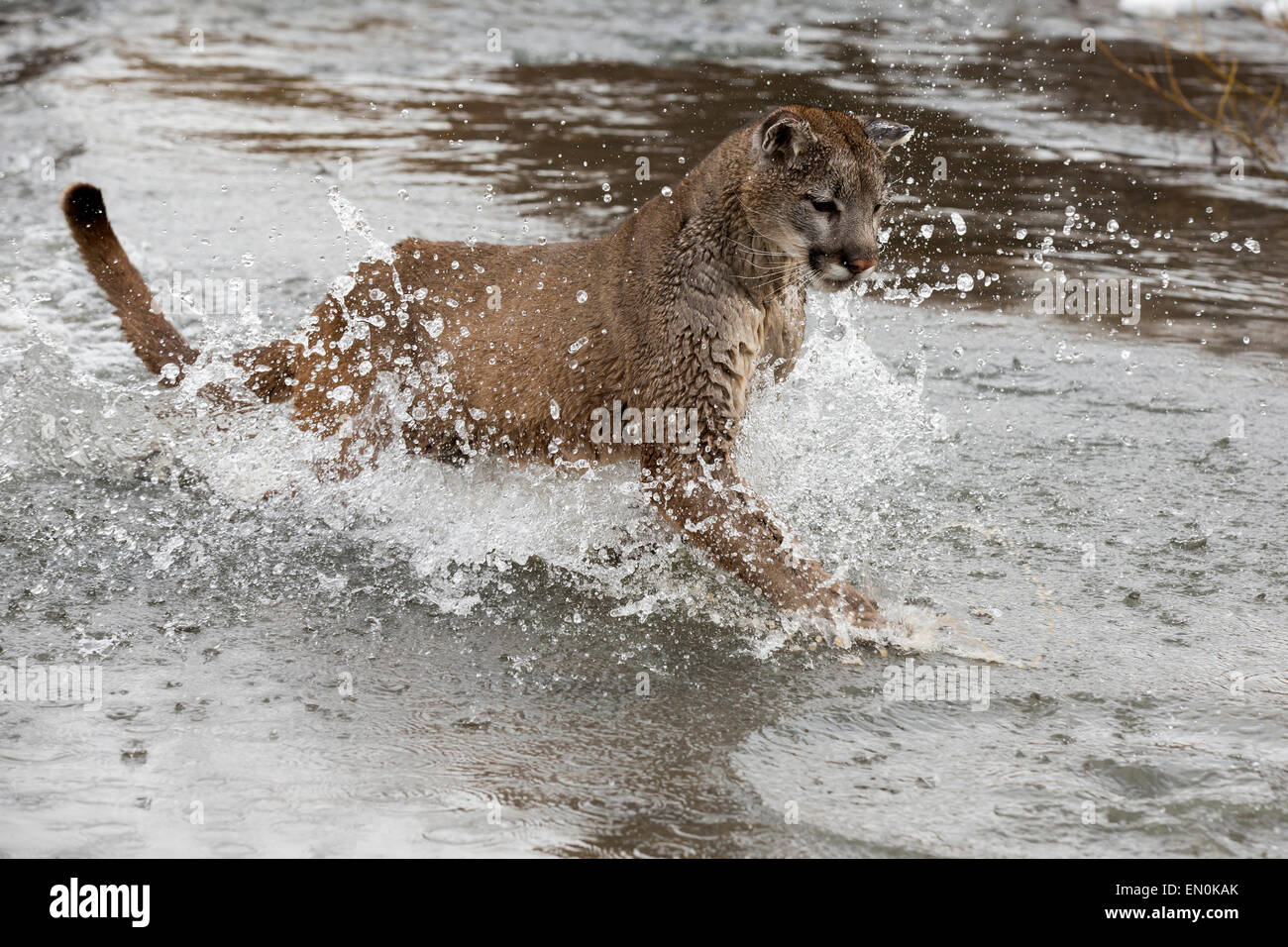 Mountain Lion (Felis concolor) running through a river in Winter - Stock Image