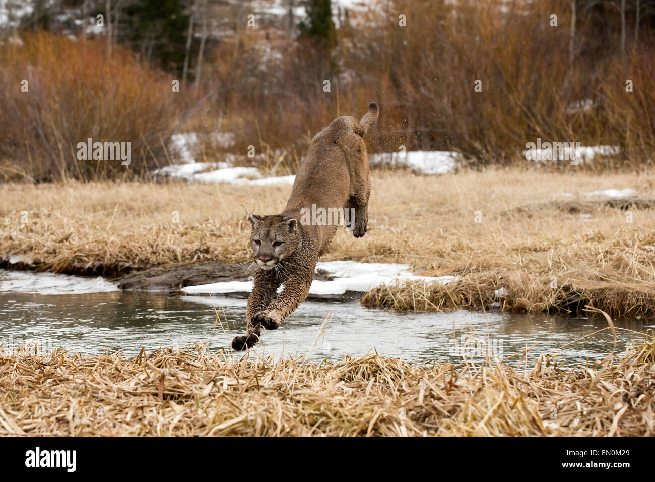 Mountain Lion (Felis concolor) jumping through the air to cross the river in Winter - Stock Image