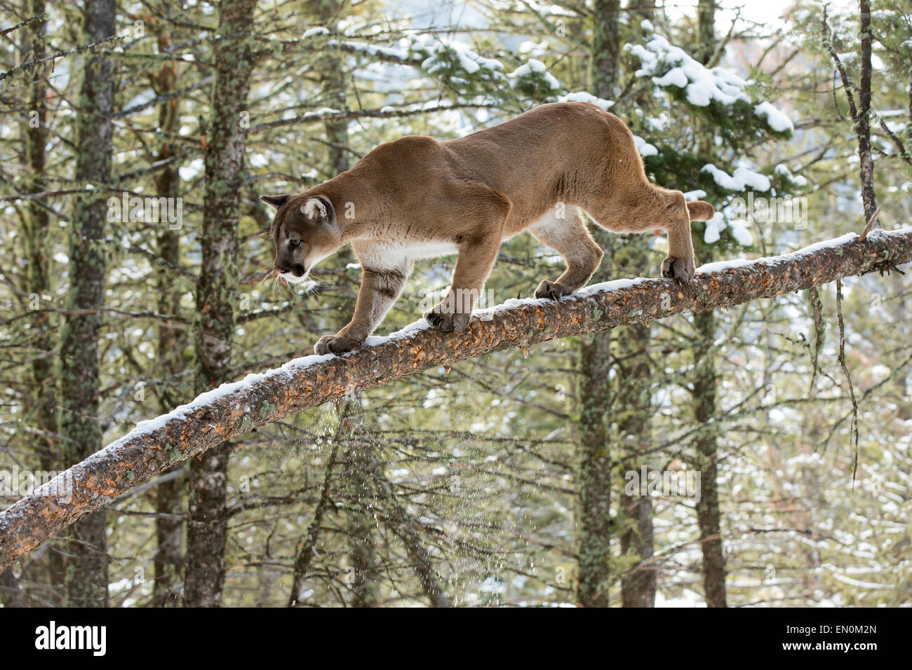 Mountain Lion (Felis concolor) on a branch, climbing a tree - Stock Image