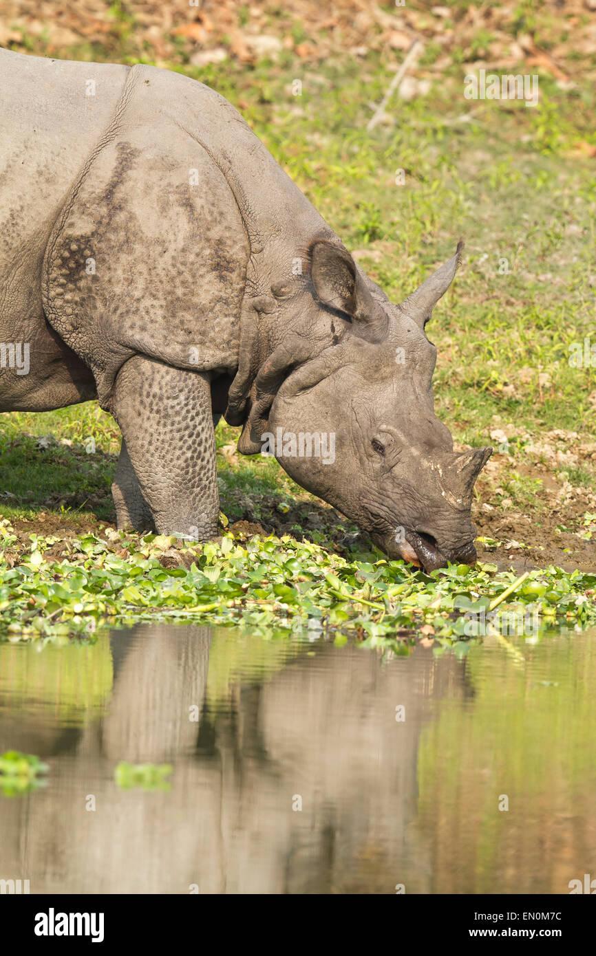 Endangered One Horned Rhinoceros or Rhinoceros unicornis at Kaziranga National Park, Assam. - Stock Image
