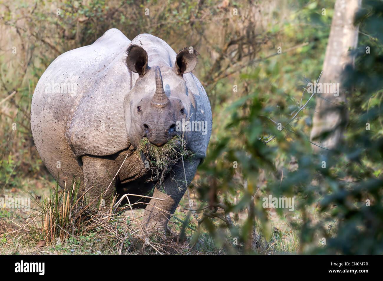 Endangered One Horned Rhinoceros or Rhinoceros unicornis at Kaziranga National Park, Assam, India - Stock Image