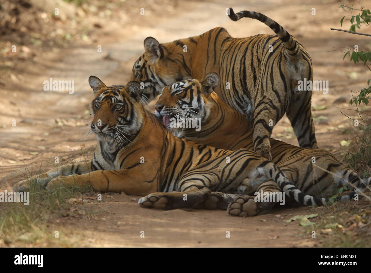 Royal Bengal Tiger with cubs sitting on the forest track of Ranthambhore Naitonal Park in Rajasthan - Stock Image