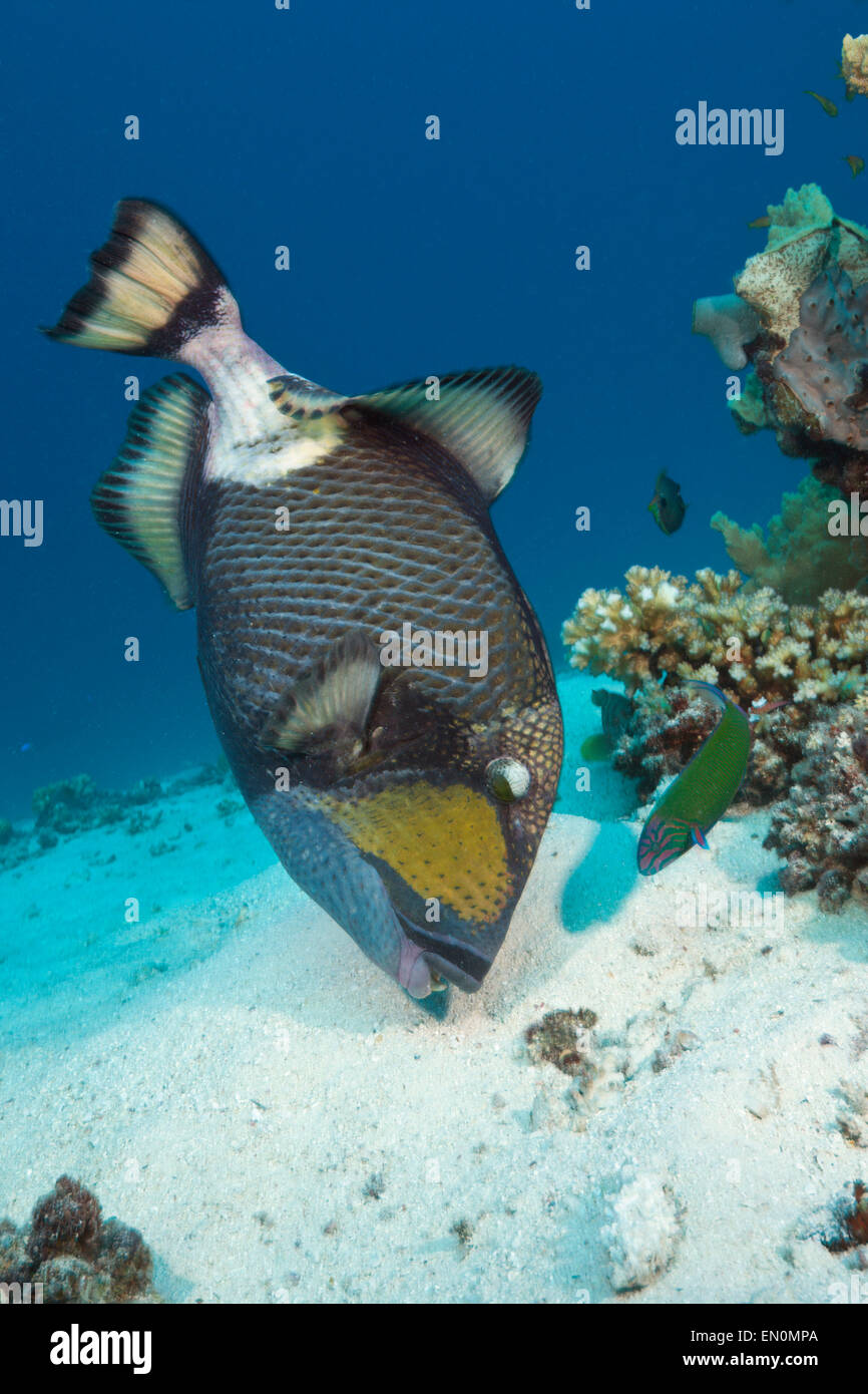 Titan Triggerfish, Balistoides viridescens, Great Barrier Reef, Australia - Stock Image