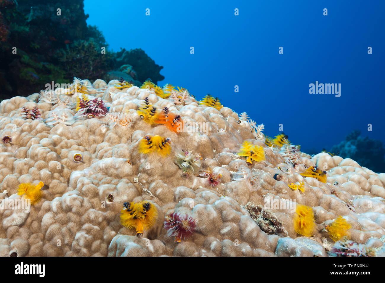 Christmas-Tree Worm, Spirobranchus giganteus, Osprey Reef, Coral Sea, Australia Stock Photo