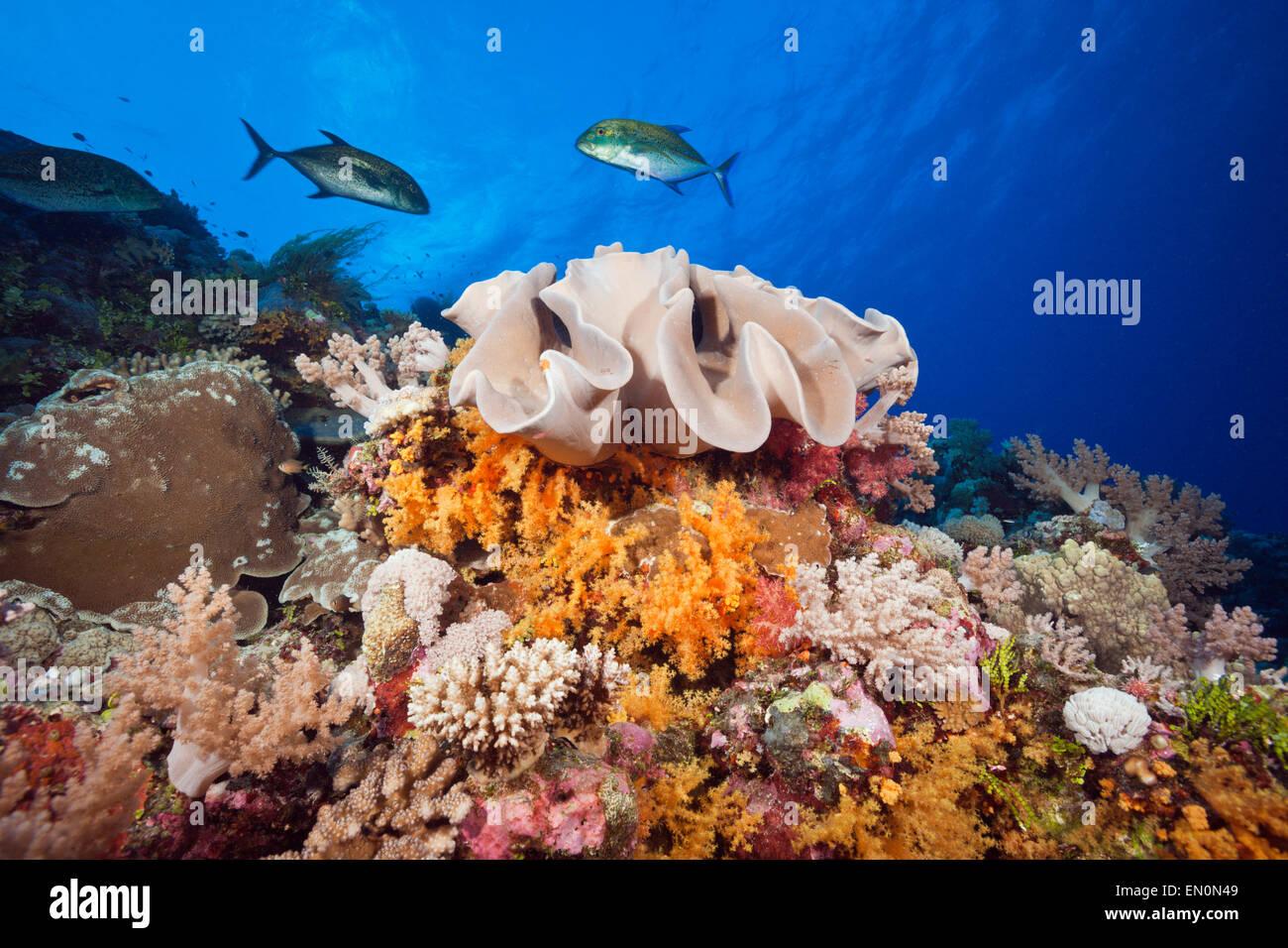 Species-rich Coral Reef, Osprey Reef, Coral Sea, Australia - Stock Image