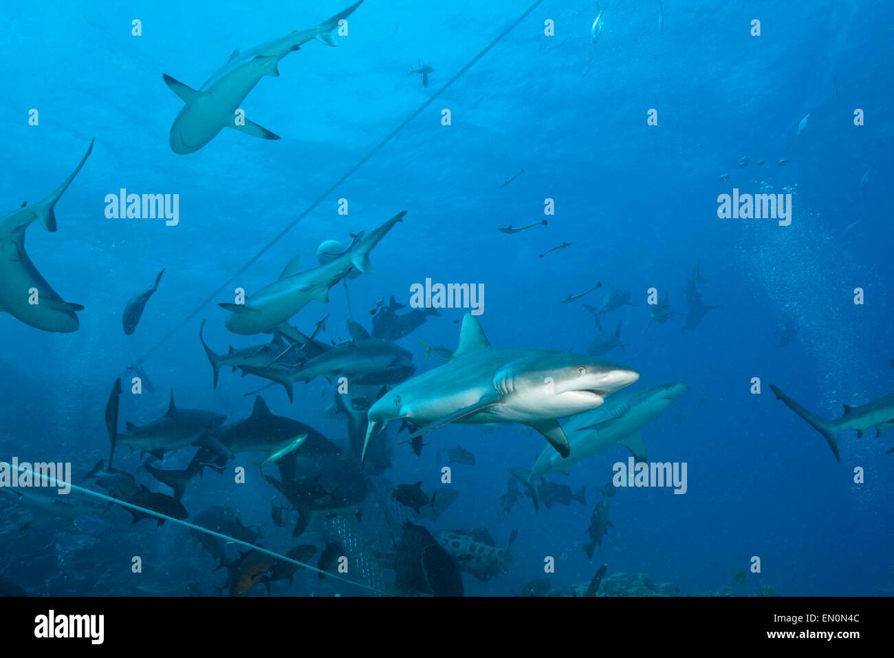 Grey Reef Shark during feeding frenzy, Carcharhinus amblyrhynchos, Osprey Reef, Coral Sea, Australia Stock Photo
