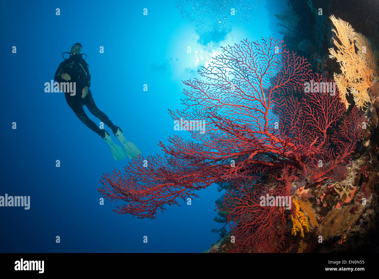 Scuba Diver over Coral Reef, Osprey Reef, Coral Sea, Australia - Stock Image