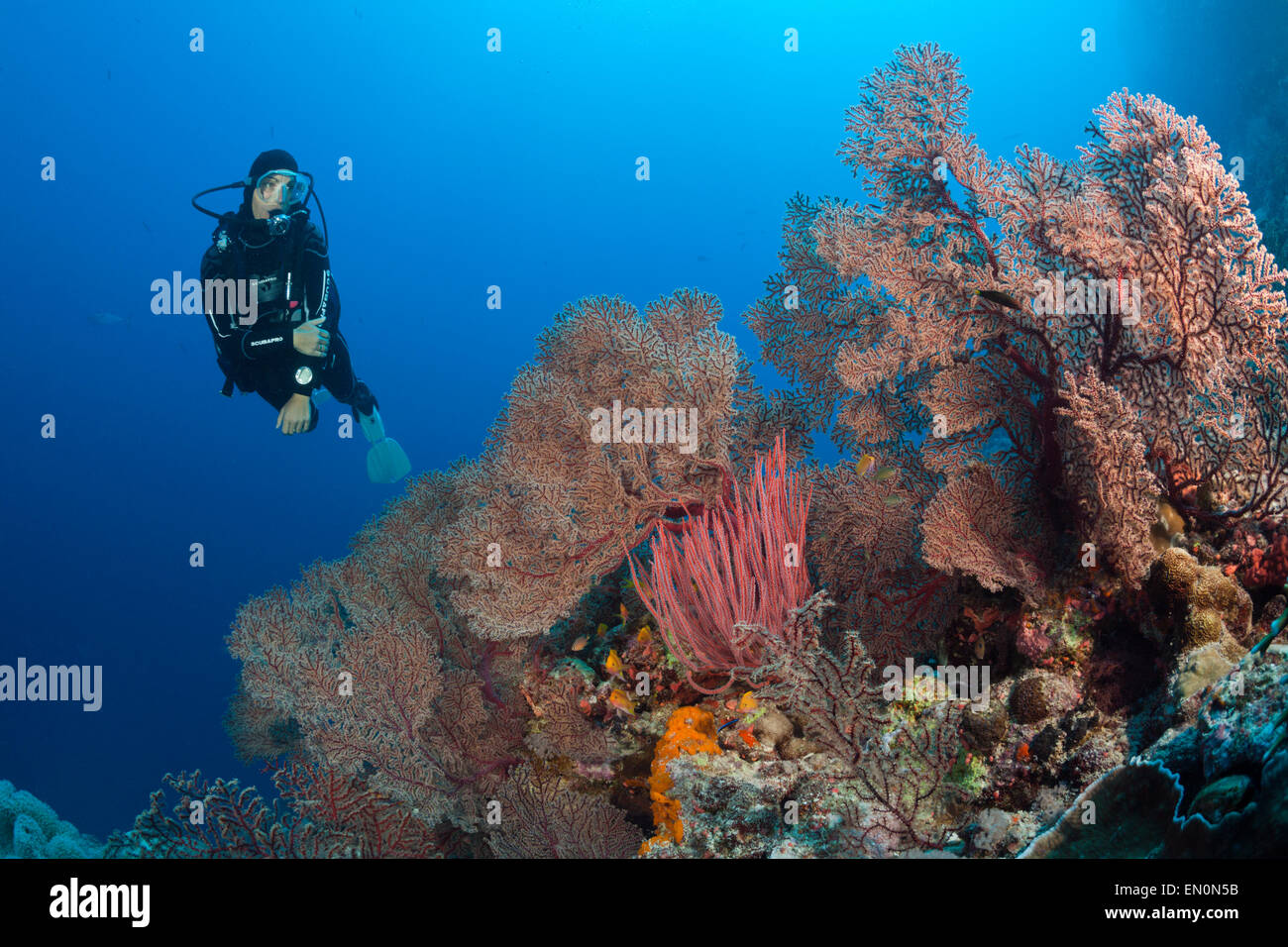 Scuba Diver over Coral Reef, Osprey Reef, Coral Sea, Australia - Stock Image