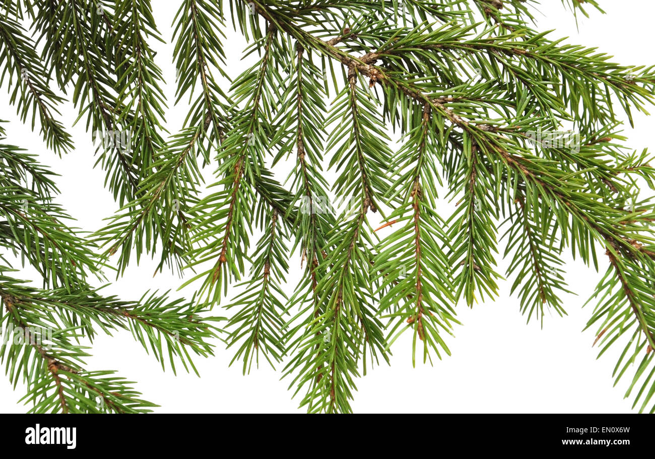 Spruce branch on a white background. Close-up. - Stock Image