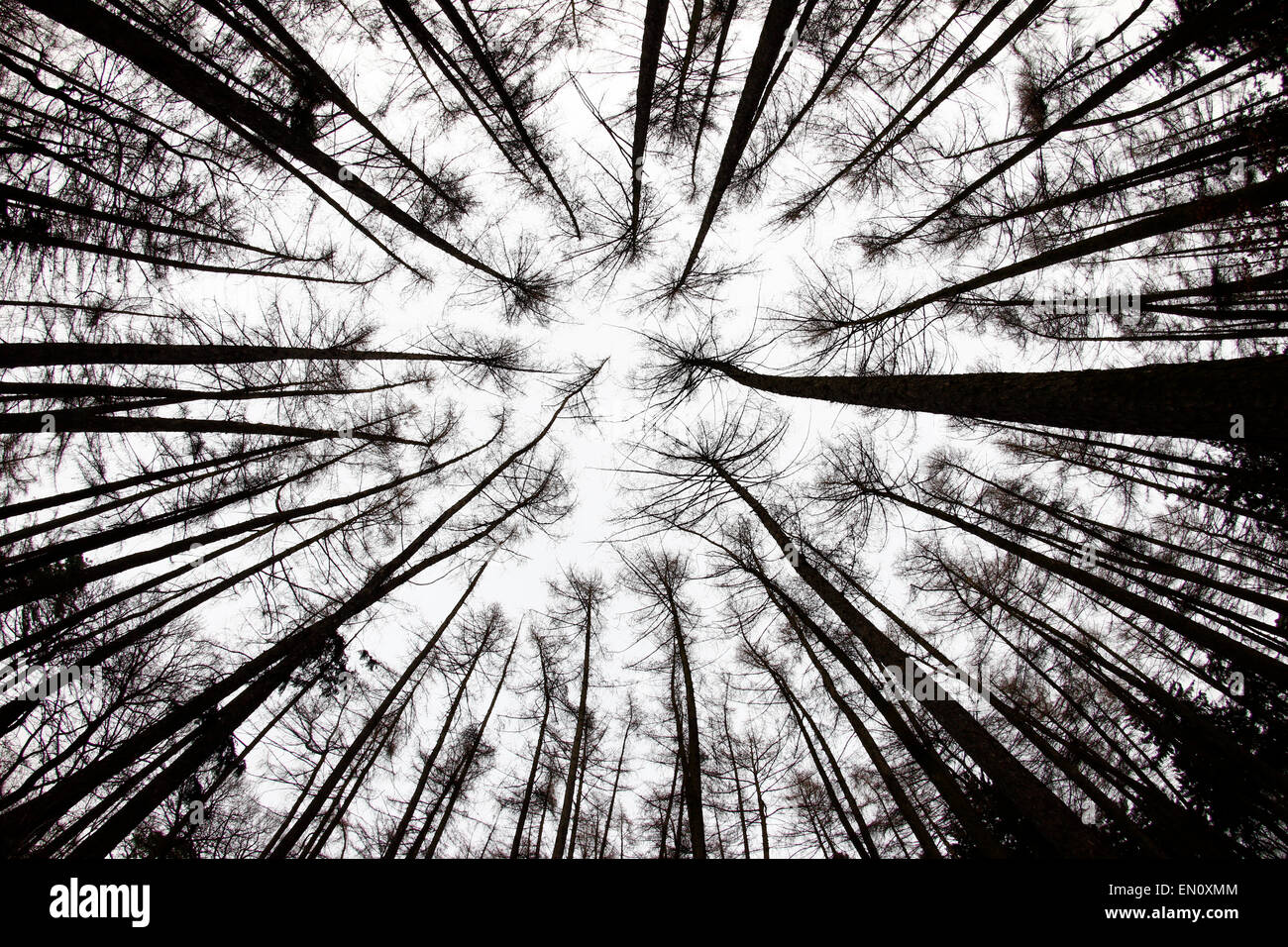 forest view from below - fish-eye lens view - Stock Image