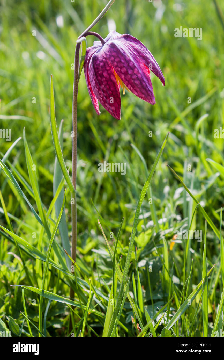 A single Snake's Head Fritillary blooms in a river meadow in Ducklington, Oxfordshire, England, GB, UK - Stock Image