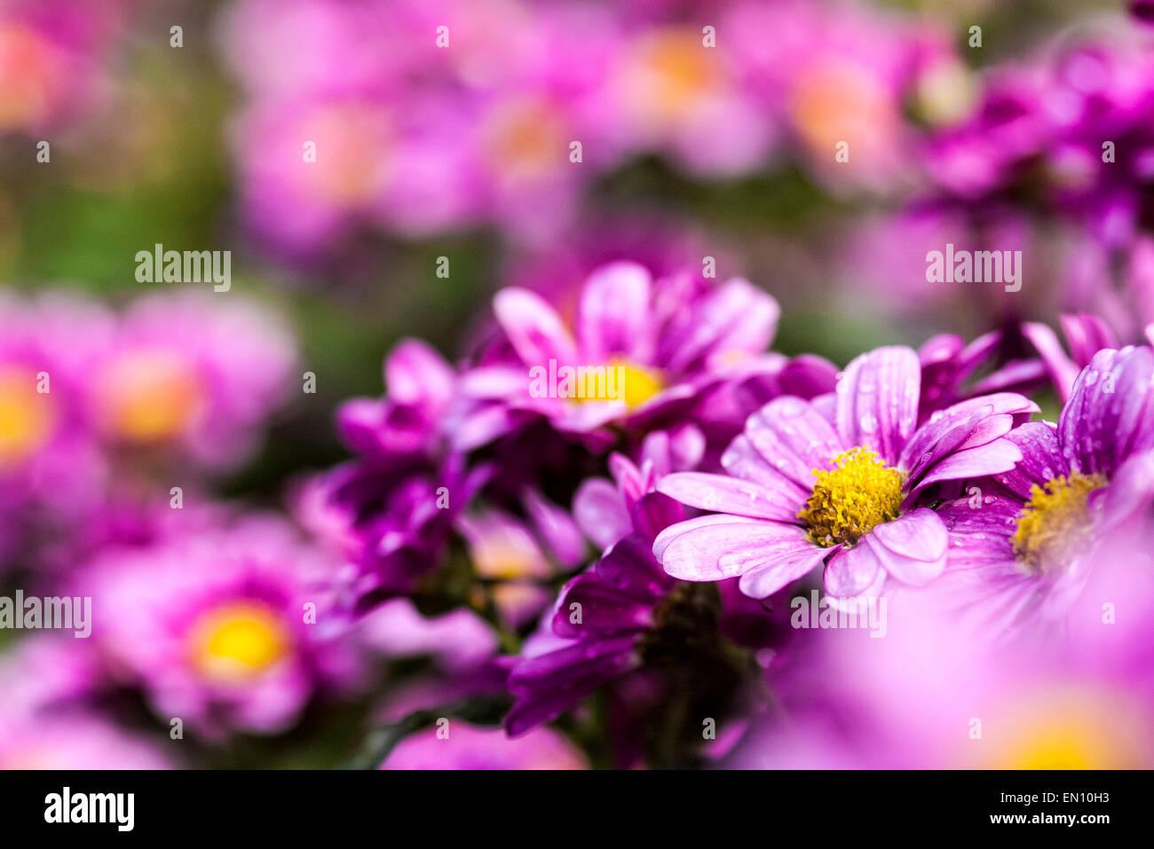 Field daisy flowers adv others stock photos field daisy flowers field of daisy flowers for adv or others purpose use stock image izmirmasajfo