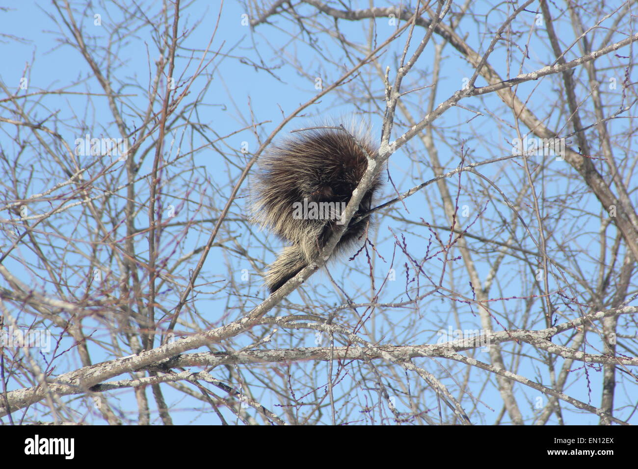 North American Porcupine (Erethizon dorsatum) on a  tree branch. Porcupines are rodents with a coat of sharp spines, Stock Photo