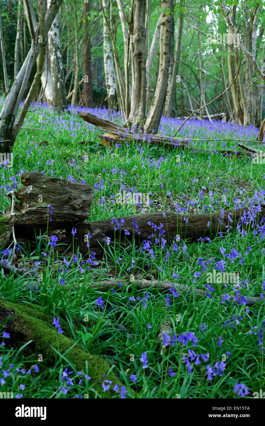 Spring English Bluebells in beech woodland near Turners Hill in West Sussex Stock Photo