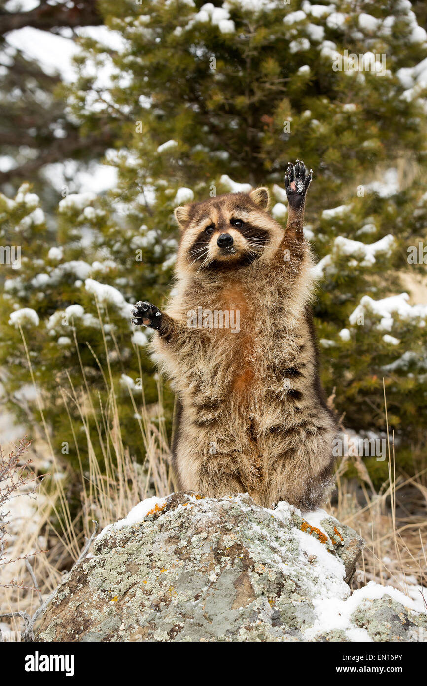 Raccoon (Procyon lotor) standing up, searching for food in the snow - Stock Image