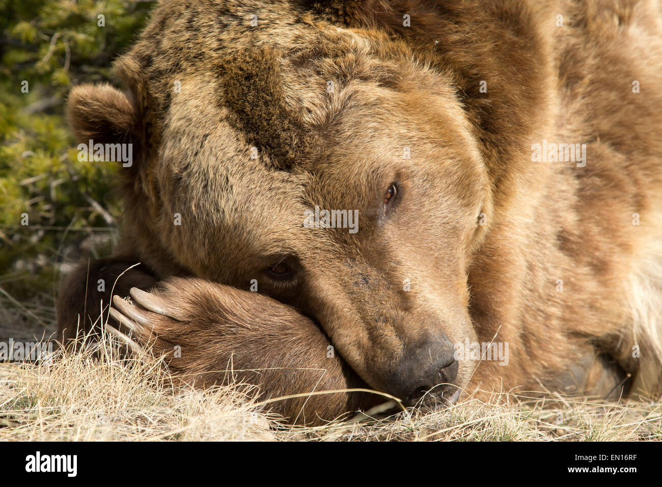 Grizzly Bear (Ursus arctos horribilis) taking a rest during the day - Stock Image
