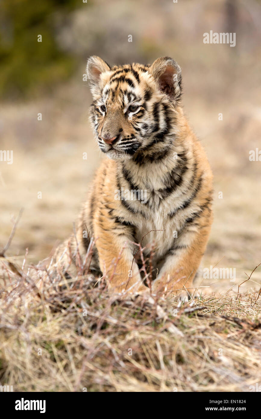 Siberian Tiger (Panthera Tigris Altaica) cub resting Stock Photo
