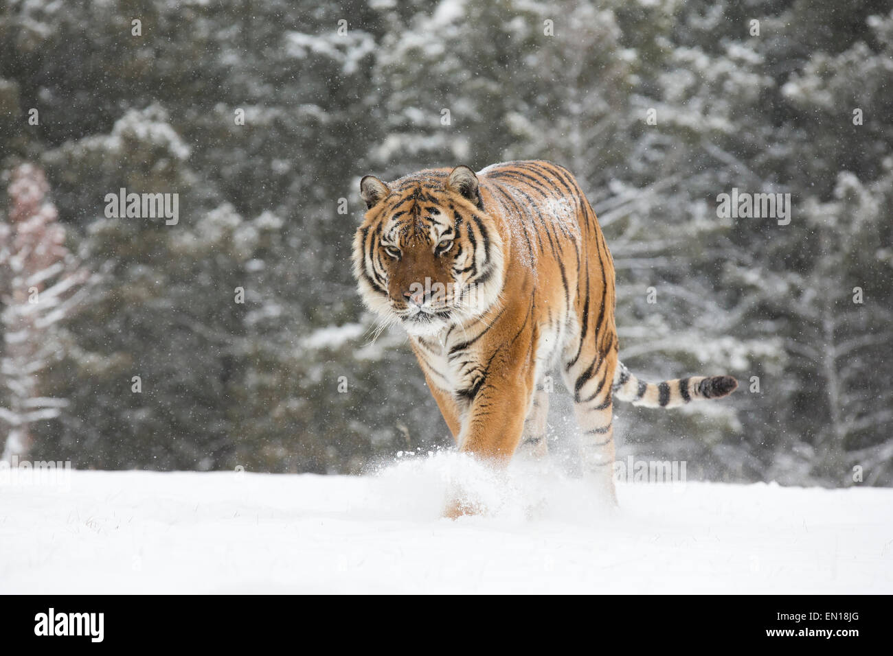 Siberian Tiger (Panthera Tigris Altaica) adult walking out of the woods through the snow - Stock Image