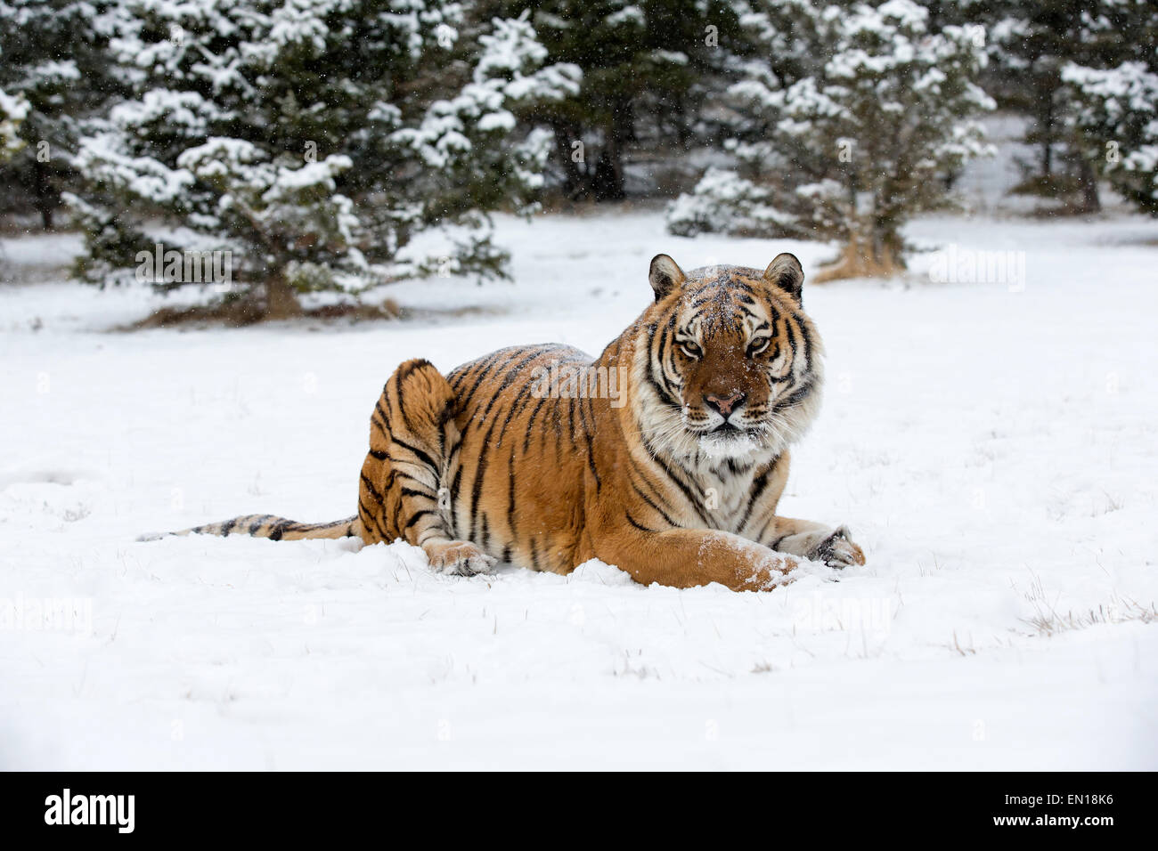 Siberian Tiger (Panthera Tigris Altaica) adult sitting in the snow Stock Photo