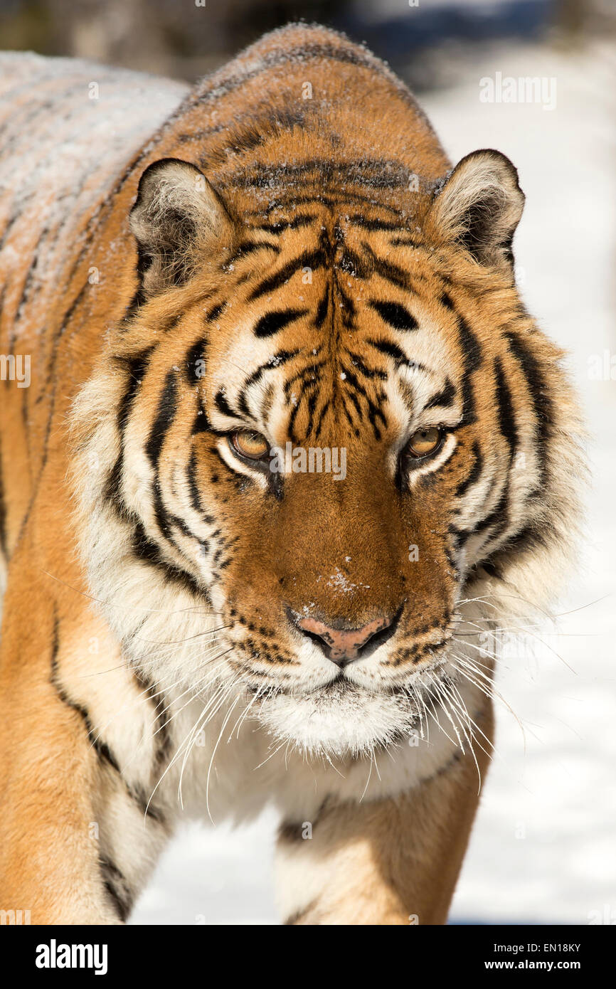 Siberian Tiger (Panthera Tigris Altaica) adult portrait in the snow - Stock Image