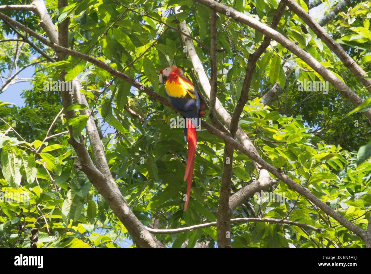 Scarlet Macaw, national bird of Honduras, Copan, Honduras - Stock Image