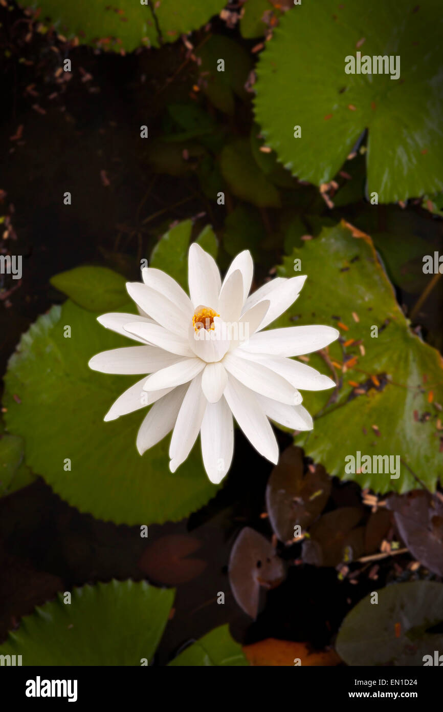 National flower of bangladesh stock photos national flower of white water lily nymphaea sp thailand the white water lily is the national izmirmasajfo