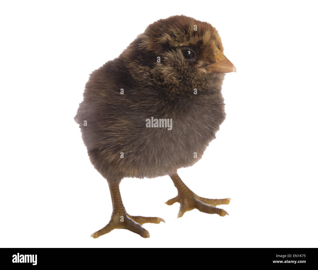 Dark Ameraucana chick isolated - Stock Image