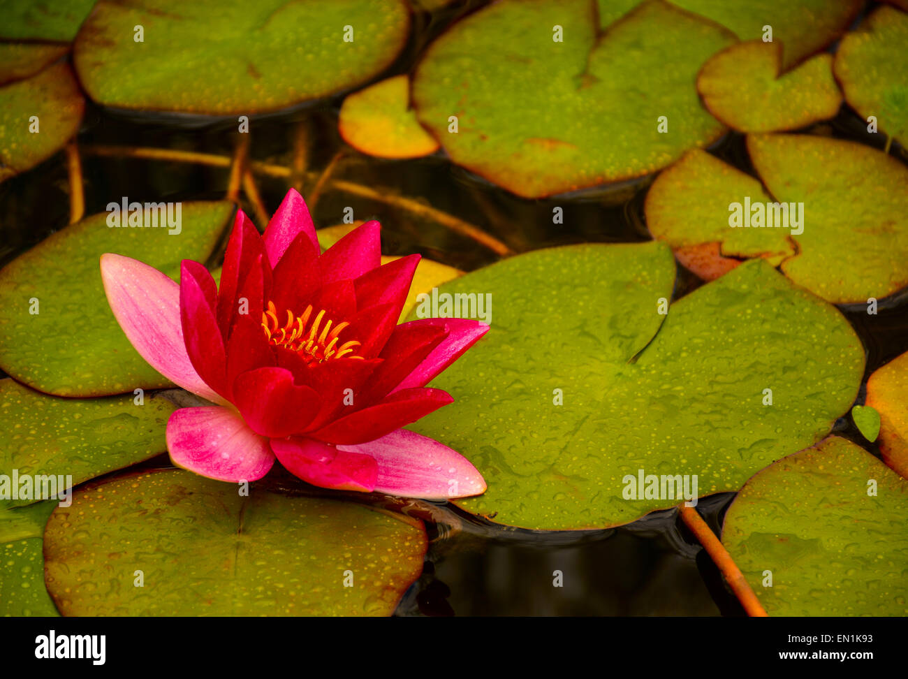 Attractive Lotus Flower Color Meaning Buddhism Gallery - Coloring ...