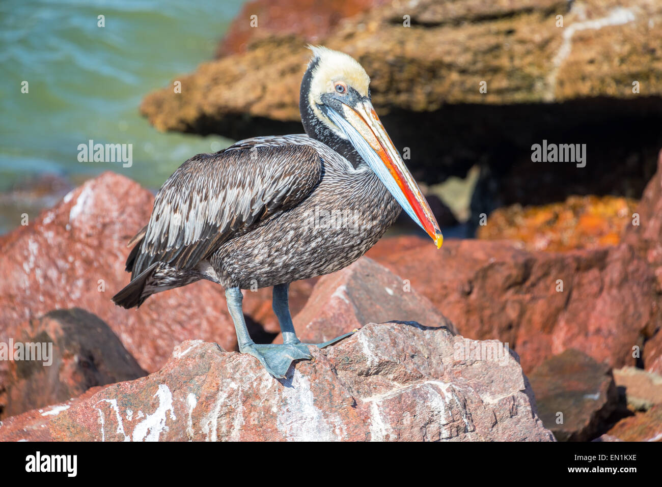 Brown pelican standing on colorful rocks in Paracas, Peru - Stock Image