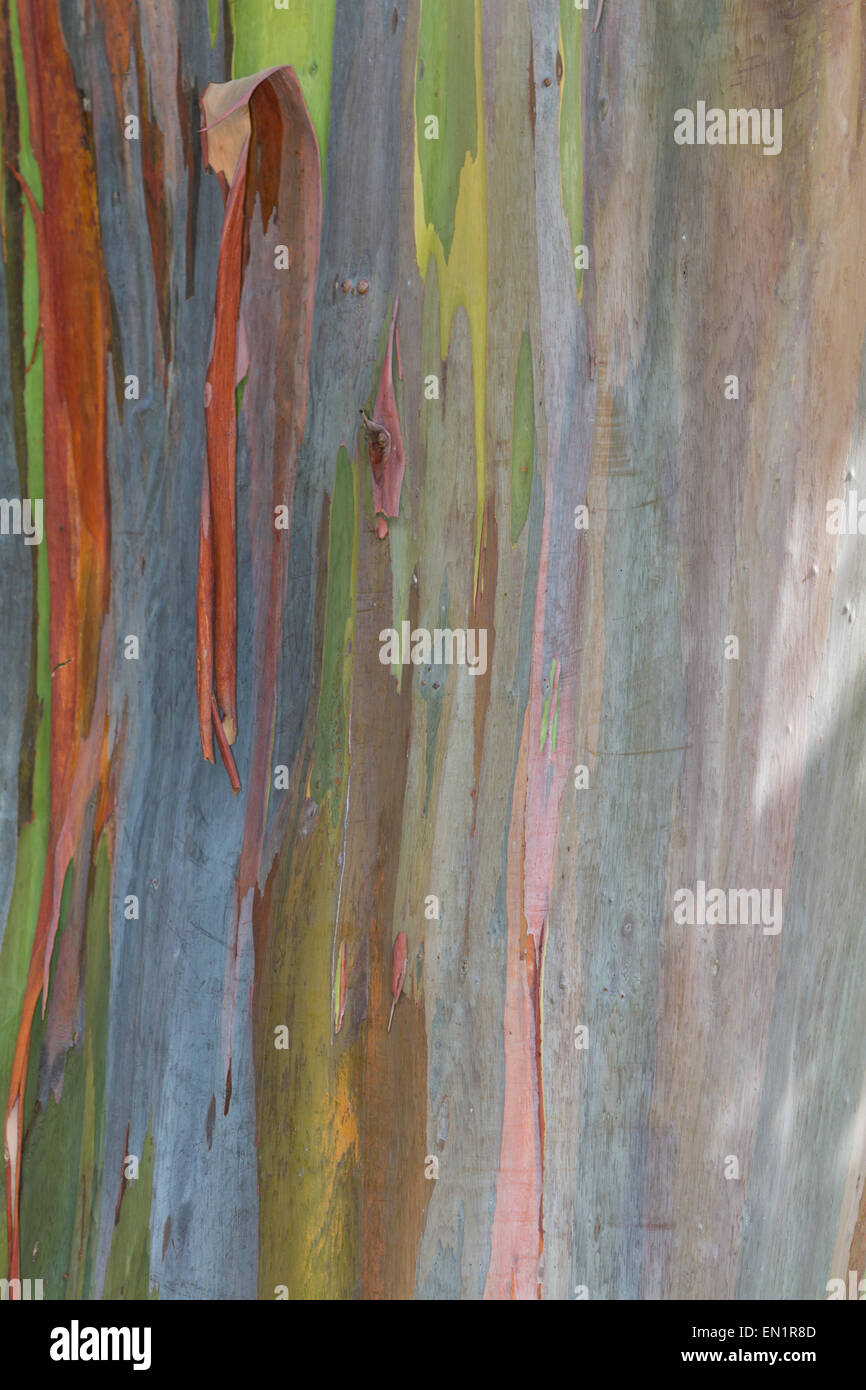 close up of a eucalyptus tree bark with interesting color and texture - Stock Image