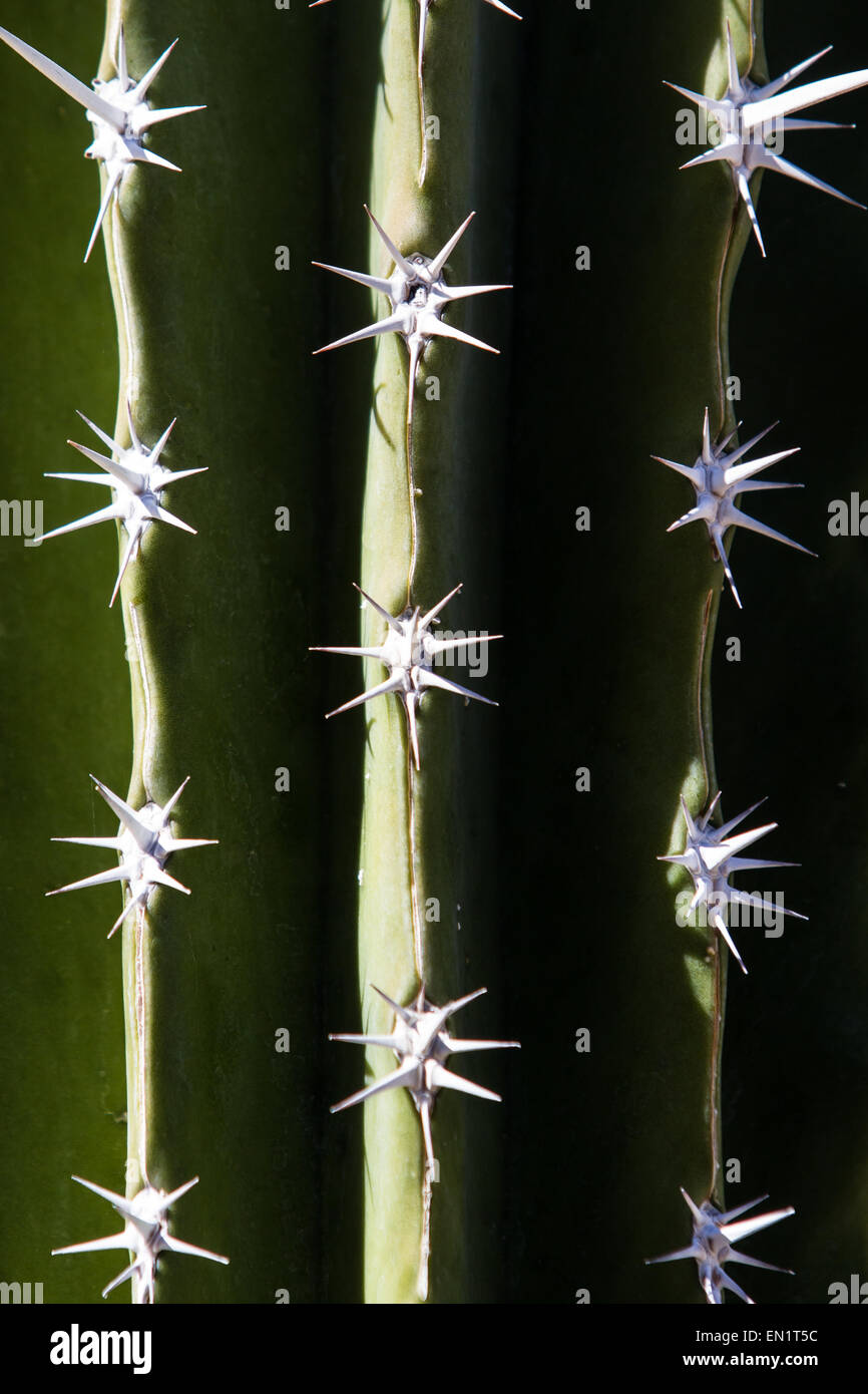 close up of a green cactus with spikes for a texture background - Stock Image