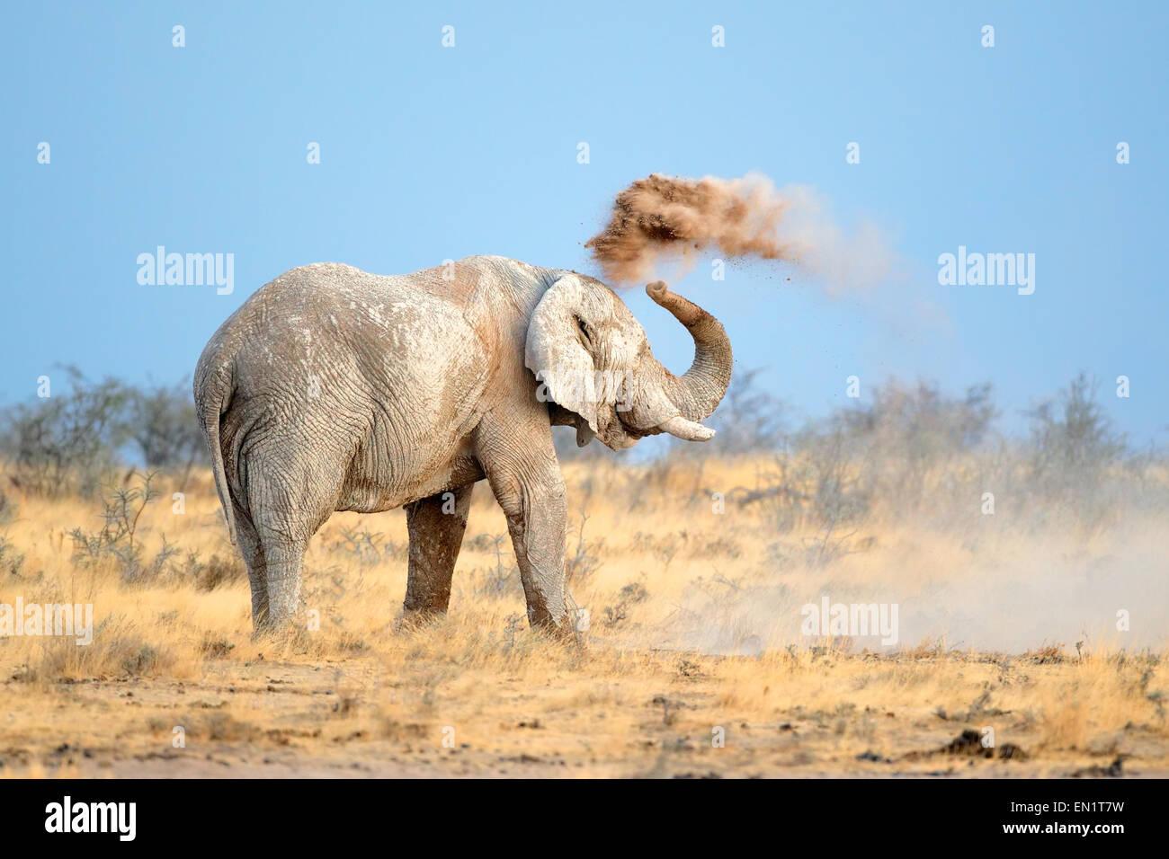Mud covered African elephant (Loxodonta africana) throwing dust, Etosha National Park, Namibia - Stock Image