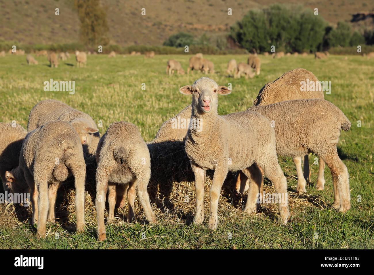 Merino lambs grazing on green pasture, Karoo region, South Africa - Stock Image