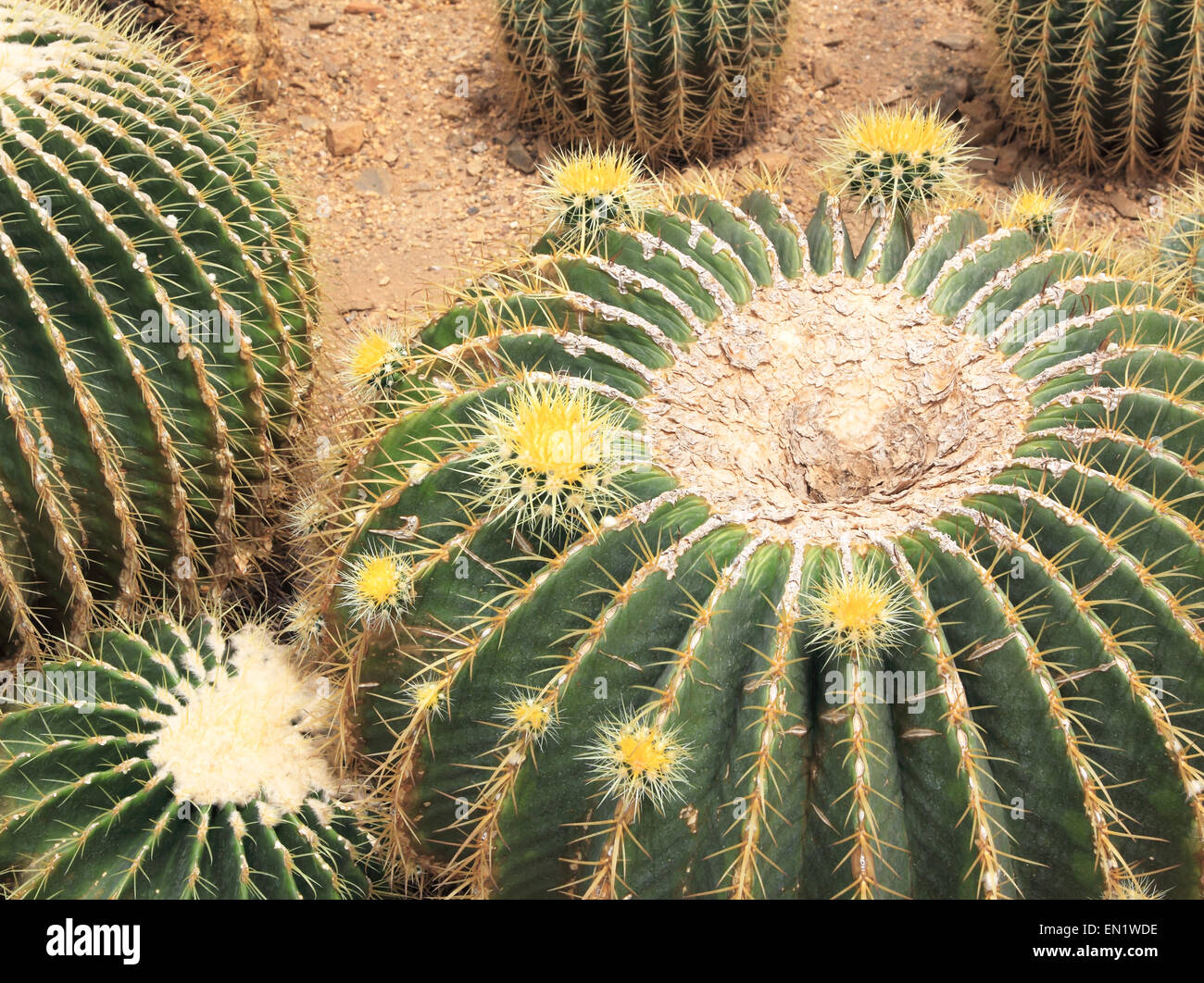cactus plant that thrive in the desert. - Stock Image