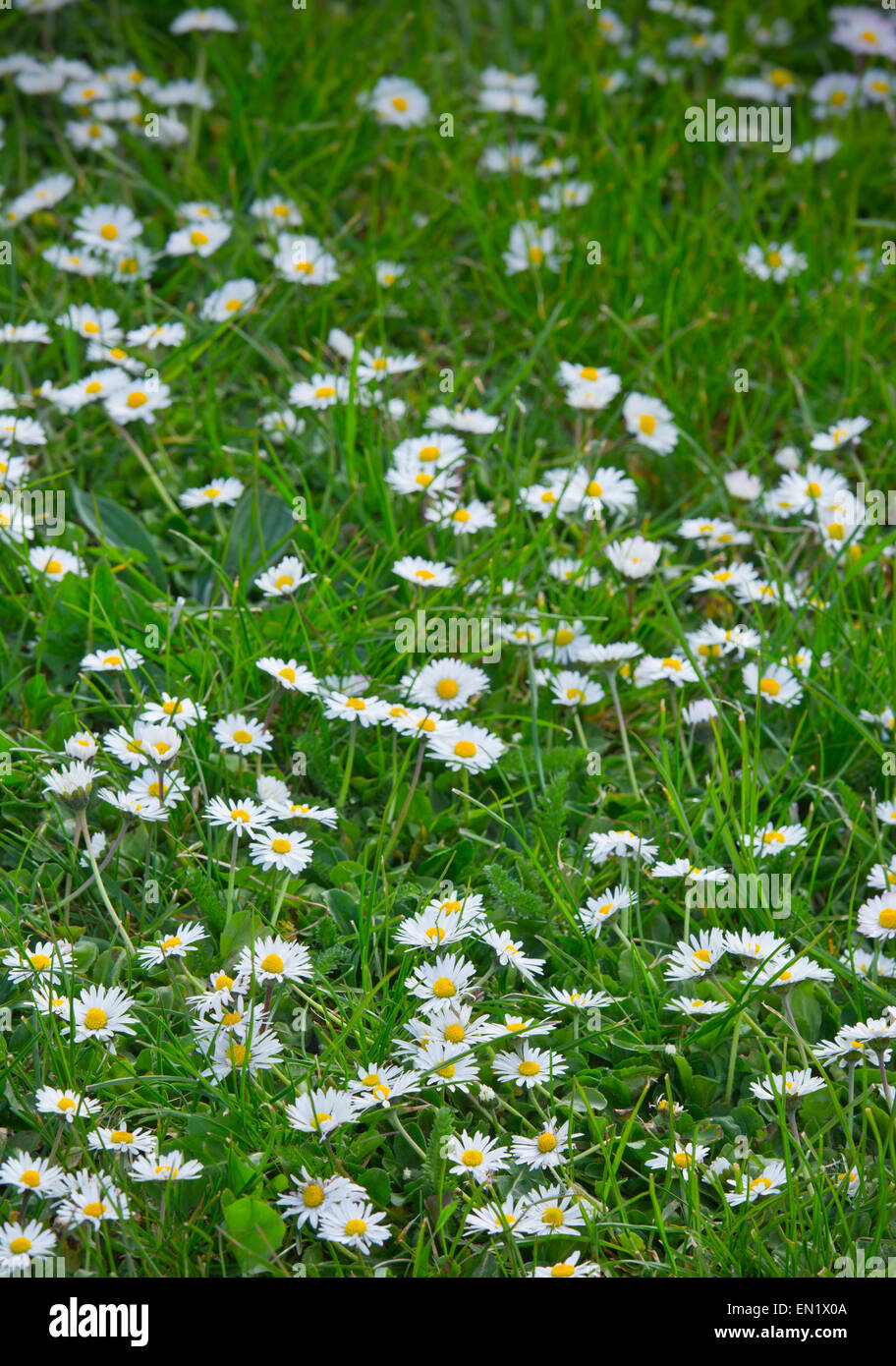 Daisy Flowers In Grass Lawn Daisies Stock Photo 81791594 Alamy