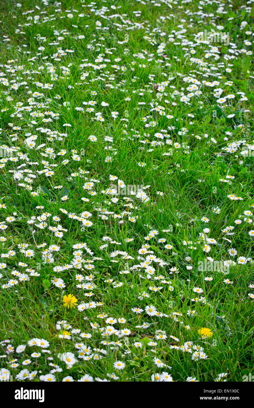 Daisy flowers in grass lawn daisies - Stock Image