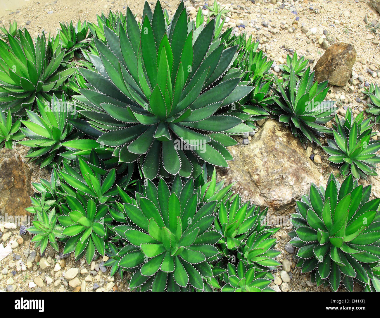succulent plant plants that thrive in the desert. - Stock Image