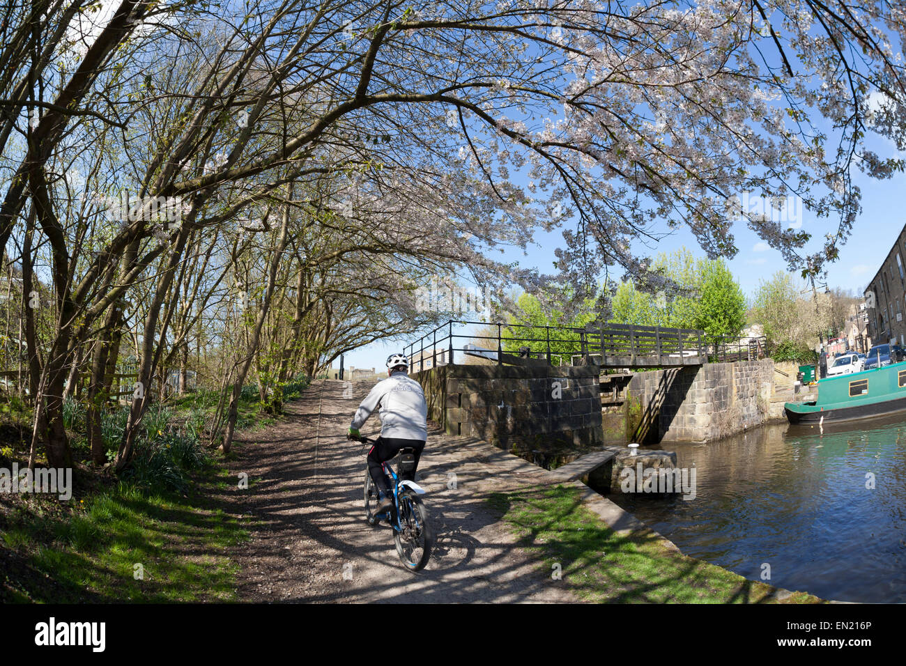 Cherry blossom overhanging the canal towpath, with cyclist, Sowerby Bridge, West Yorkshire - Stock Image